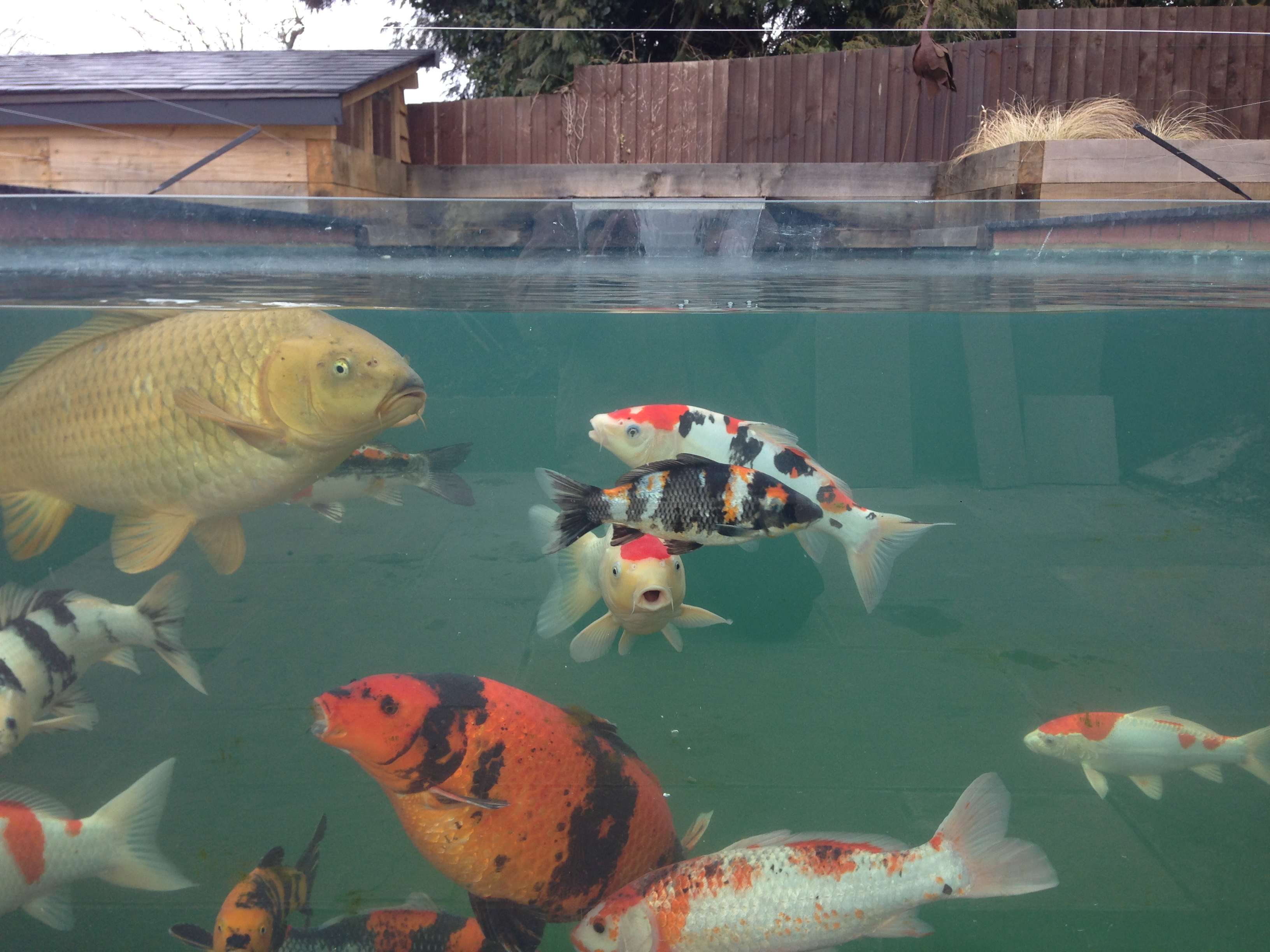 Koi pond white colne the pond specialist for Ornamental fish pond supplies